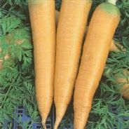 Carrot Solar Yellow - Appx 2700 Seeds